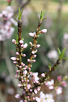 A patio peach blooms  Wednesday March 18, 2020 at the Botanical Garden of the Ozarks in Fayetteville. (NWA Democrat-Gazette/J.T. Wampler)