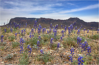 Each spring, Texas bluebonnets line the roads in Big Bend National Park. This Big Bend image looks towards the Chisos Mountains in late March on a peaceful spring day.