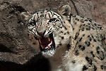 Growling snow leopard seen head on.  Snow Leopards are an endangered species. Captive