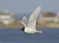 Mediterranean Gull - Larus melanocephalus - Breeding Adult