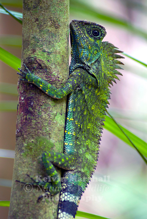 Chameleon Forest Dragon (Gonocephalus chamaeleontinus) Agamid lizards are of the family Agamidae, include more than 300 species in Africa, Asia, Australia, and a few in Southern Europe. Many species are commonly called dragons or dragon lizards.