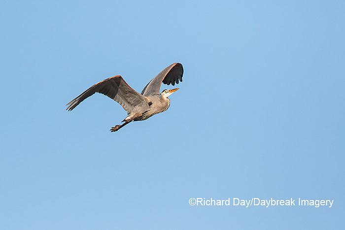 00684-05108 Great Blue Heron (Ardea herodias) in flight, Marion Co., IL