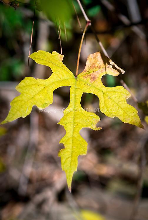Ampelopsis brevipedunculata climbing vine in autumn fall foliage color, single leaf closeup
