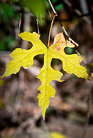 Ampelopsis brevipedunculata climbing vine in autumn fall foliage color, single leaf closeup