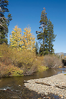 Quaking aspen, Populus tremuloides. West fork of the Carson River, Hope Valley, Sierra Nevada Mountains, California