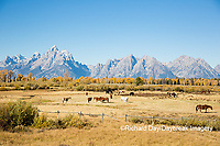 67545-09519 Horses and Grand Teton Mountain Range in fall, Grand Teton National Park, WY