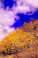 BRITTLEBUSH ON ROCKY SLOPE IN MISSION CREEK SAN GORGONIO MOUNTAINS