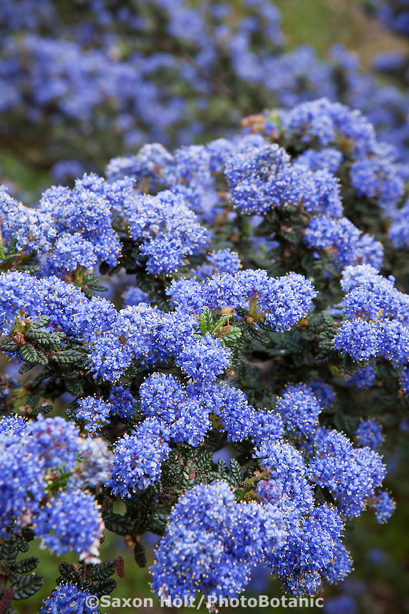 Blue flowering California lilac (Ceanothus) in native plant garden, Santa Barbara, spring