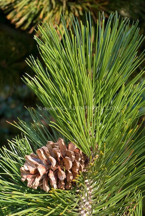 Pinus heldreichii with evergreen pine cone