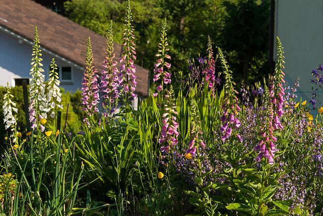 Fingerhut, Digitalis, Digitalis purpurea, Braunwurzgewächse, Scrophulariaceae, Mauren, Rheintal, Rhine-valley, Liechtenstein.