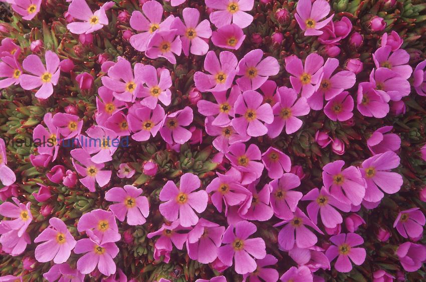 Moss Campion ,Silene acaulis,, a tundra wildflower, North America.