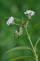 Queen (Danaus gilippus), caterpillar pupating on Aquatic Milkweed (Asclepias perennis), series, Hill Country, Central Texas, USA