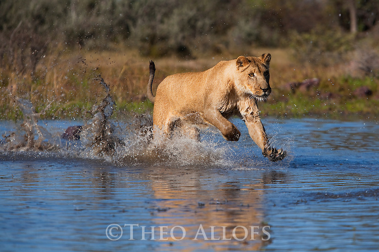 Botswana, Kalahari, lioness running in a water hole, captive