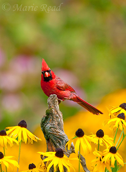 Northern Cardinal (Cardinalis cardinalis) male in a late summer garden setting, black-eyed susans in background, New York, USA
