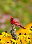 Northern Cardinal (Cardinalis cardinalis) male in a late summer garden setting, black-eyed susans in background, New York, USA