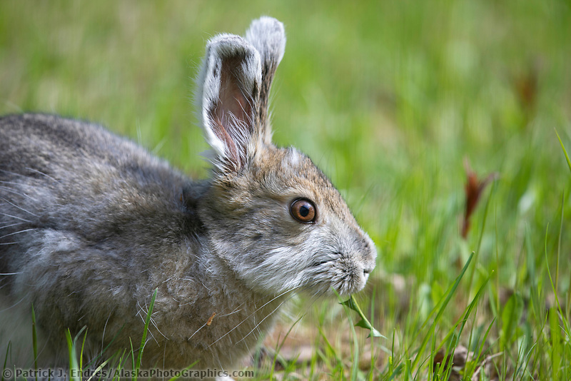 Snowshoe hare feeds on fresh spring grass in Fairbanks, Alaska.