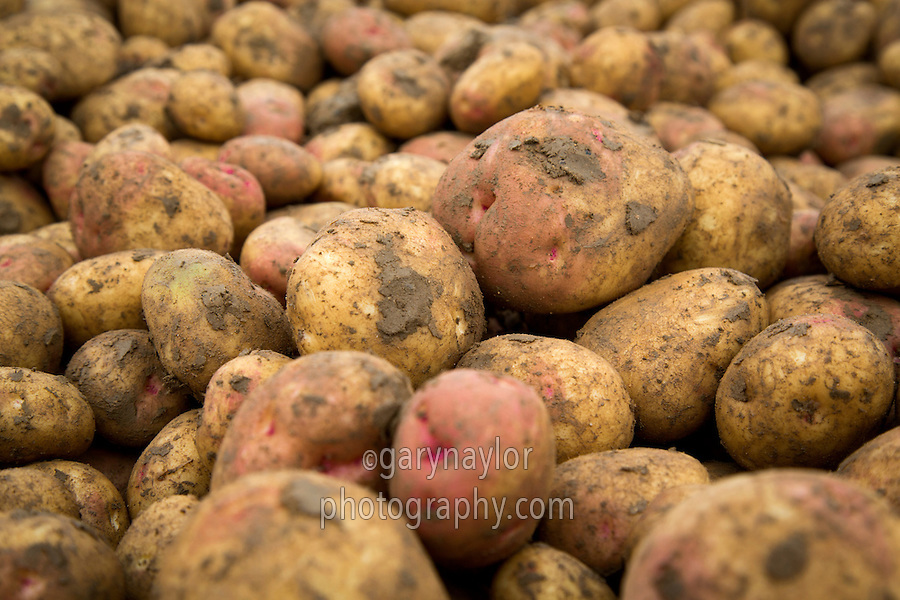 King Edward potatoes harvested direct into boxes - Lincolnshire, October