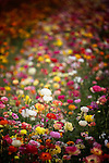 Field of colorful Ranunculus flowers