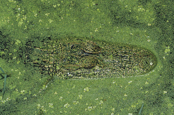 American Alligator (Alligator mississipiensis), adult camouflaged in duckweed (Lemnaceae), Sinton, Coastel Bend, Texas, USA
