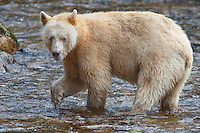 "Kermode ""Spirit"" Bear pauses while fishing in a river"
