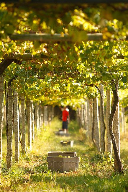 Bodega Quinta de Couselo, recoleccion de uva.