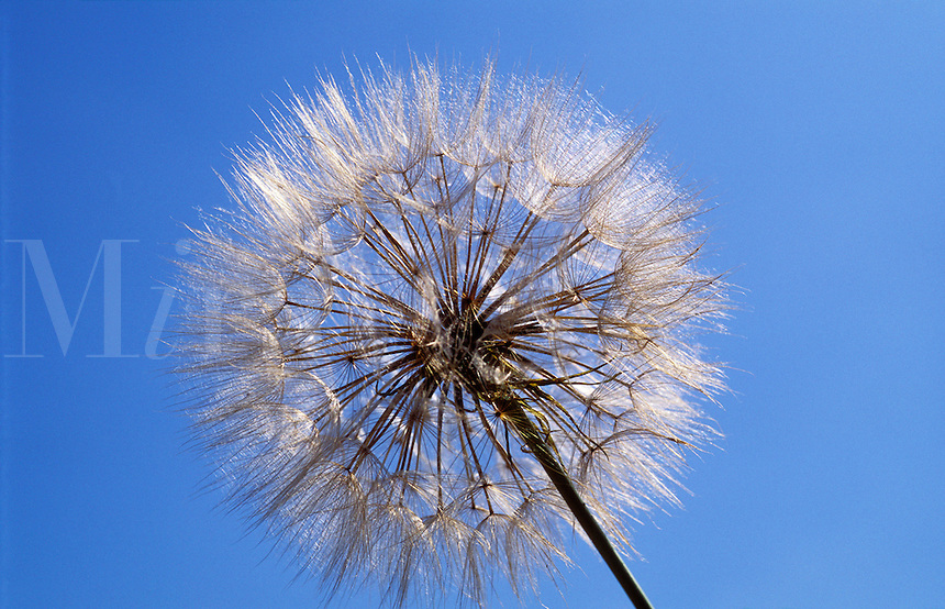 Seed head of salsify, tragopogon porrifolius<br />