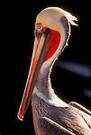 Pelican, Baja, Mexico, Baja Sur, Gulfo de California, Sea of Cortez, pelecanus occidentalis, .