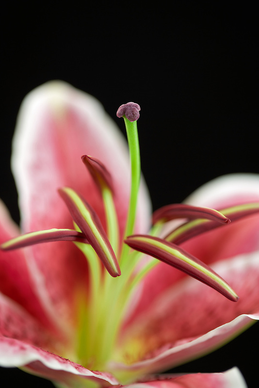 Close up of stamens and pistil in a Star Gazer Lily.