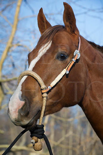 "Horse wearing new bosal, bit less tack alternative to traditional bridle or halter, silver and ivory trim,""Squeak""."