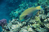 Parrot Fish, Scaridae, adult eating coral, Sharm El Sheik, Red Sea, Egypt, Oktober 1997