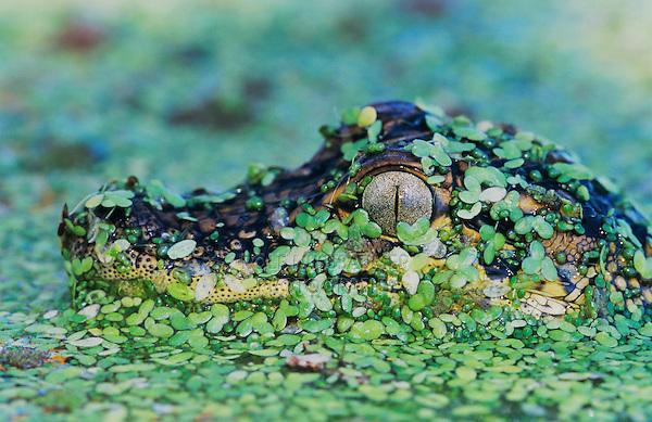American Alligator (Alligator mississipiensis), young in duckweed camouflaged, Welder Wildlife Refuge, Sinton, Texas, USA, June 2005