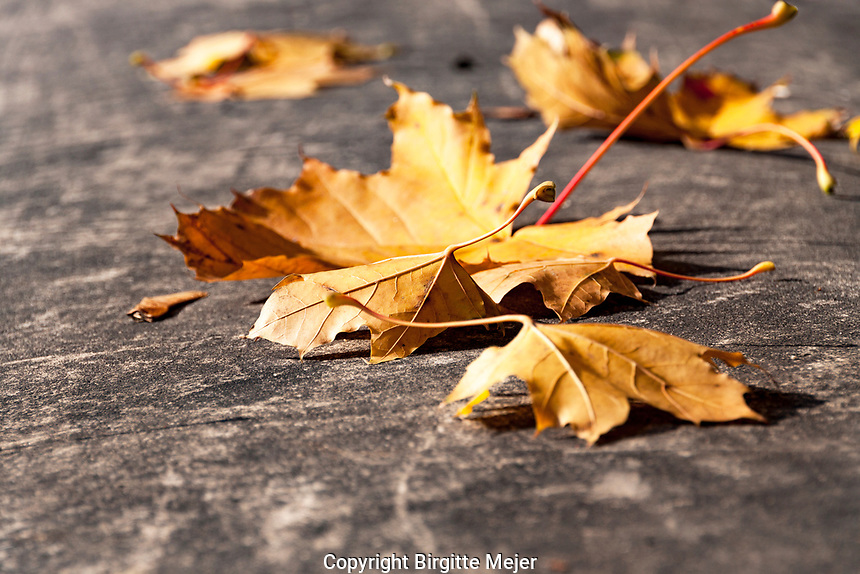 Autumn leaves photographed up close, lying on a concrete banister in the Sun.