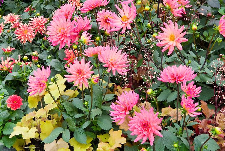 Pink and gold color theme combination of perennials, foliage and flowers: Dahlia 'Karma Fuchsiana' (SD), Heuchera, Dahlia 'Gallery Art Deco' SD AGM + 'Surprise Kelly' (Dahlietta group) mixed