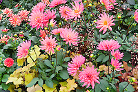 Pink and gold color theme combination of perennials, foliage and flowers: Dahlia 'Karma Fuchsiana' (SD), Heuchera, Dahlia 'Gallery Art Deco' SD AGM + 'Surprise Kelly' (Dahlietta group) mixed