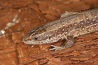 Waldeidechse, Mooreidechse, Bergeidechse, Wald-Eidechse, Moor-Eidechse, Berg-Eidechse, bei der Häutung, Lacerta vivipara, Zootoca vivipara,  viviparous lizard, European common lizard