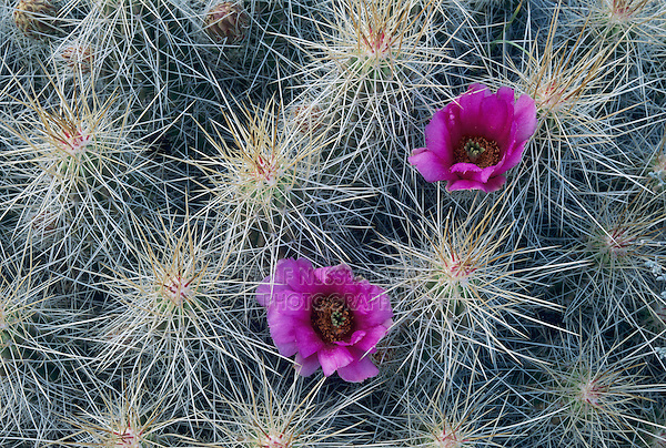 Strawberry Hedgehog Cactus, Echinocereus enneacanthus,blooming, Big Bend National Park, Texas, USA