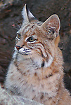 Bobcat Portrait<br /> This beautiful female bobcat visited a rock formation near our home. She paused and turned as if she knew it was time for her portrait shot.<br /> Coal Creek Canyon, Colorado