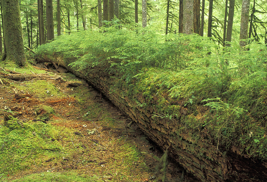 Nurse log, Soleduck River valley, Olympic National Park, Washington