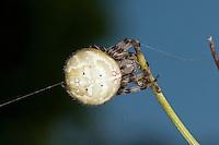 Vierfleck-Kreuzspinne, Weibchen scheidet gerade einen Spinnfaden aus, Spinnenfaden, Vierfleckkreuzspinne, Weibchen, Kreuzspinne, Araneus quadratus, fourspotted orbweaver, Araneidae, Radnetzspinnen, Kreuzspinnen, orbweavers, orb-weaving spiders