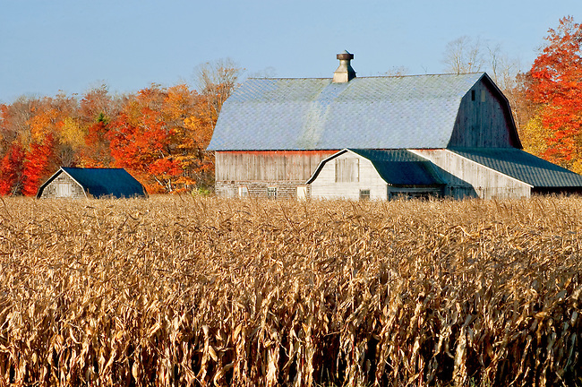 A Door County, Wisconsin barn hides behind a soon to be harvested corn crop with brilliant fall color in the forest beyond
