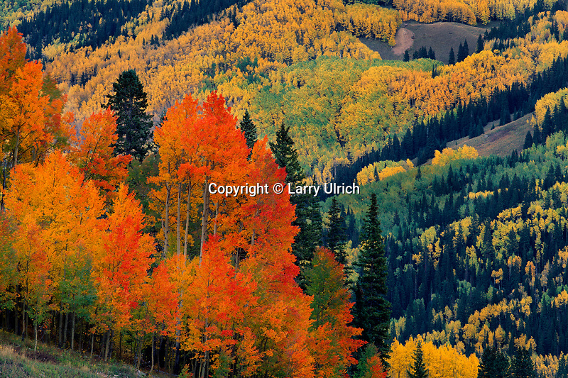 Aspens and blue Spruce near Lizard Head Pass<br />