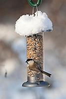 Weidenmeise, Weiden-Meise, an der Vogelfütterung, Fütterung im Winter bei Schnee, mit Körnern gefüllten Futtersilo, Winterfütterung, Mönchsmeise, Mönchs-Meise, Meise, Poecile montanus, Parus montanus, willow tit
