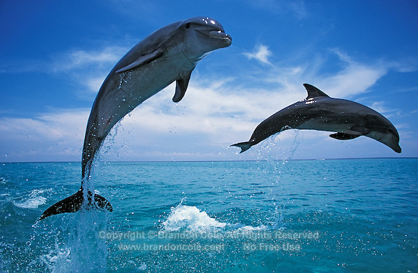 my232. Bottlenose Dolphins (Tursiops truncatus) jumping out of ocean. Honduras, Caribbean Sea..Photo Copyright © Brandon Cole. All rights reserved worldwide.  www.brandoncole.com