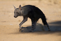 Brwon hyena stepping out of the shadow into the morning light.