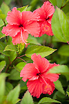 Rakiraki, Viti Levu, Fiji; red Hibiscus flowers