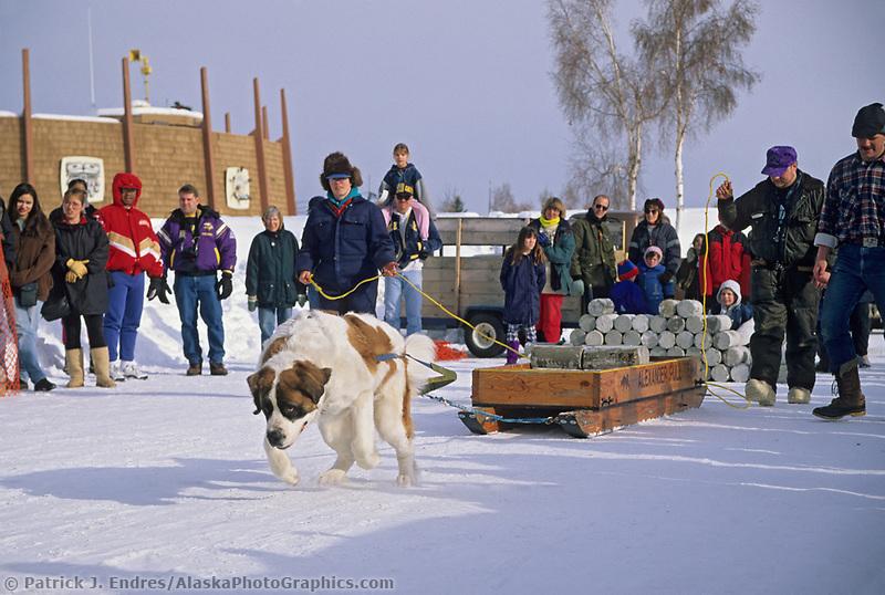 St. Bernard competes in the winter carnival dog sled pull, winter, Fairbanks, Alaska.