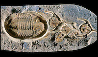 Trilobites, Ampyx & Asaphellas Ordovician. Morocco. Studio.