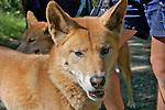 Dingo, Healesville Sanctuary