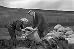Crofting building collecting peat, bagging it up. Shetland Islands 1970s.