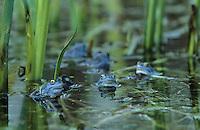 Moorfrosch, Moor-Frosch, Frosch, Männchen intensiv blau gefärbt, Hochzeitskleid, Rana arvalis, Moor Frog